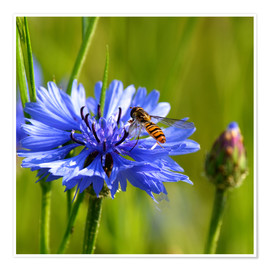 Poster Premium  Cornflower with hoverfly - Atteloi
