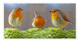 Poster  Birds Robins - WildlifePhotography