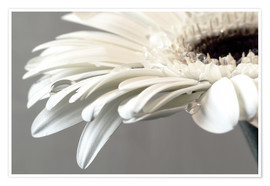 Poster Premium  White Gerbera with drops - Susanne Herppich