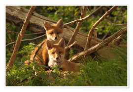 Poster Premium  Young foxes - Uwe Fuchs