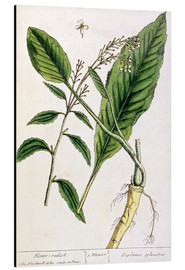 Stampa su alluminio  Horseradish, plate 415 from 'A Curious Herbal', published 1782 - Elizabeth Blackwell