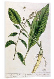 Stampa su schiuma dura  Horseradish, plate 415 from 'A Curious Herbal', published 1782 - Elizabeth Blackwell