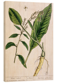 Stampa su legno  Horseradish, plate 415 from 'A Curious Herbal', published 1782 - Elizabeth Blackwell