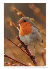 Poster  Robin on a branch - Uwe Fuchs