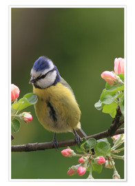 Poster Premium Blue Tit with Apple Blossoms