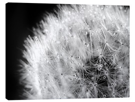 Stampa su tela  Dandelion dew drops black and white - Julia Delgado