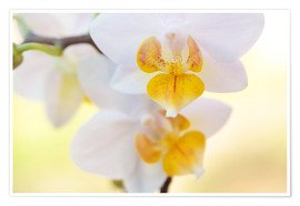 Poster Premium  White orchids against soft yellow background - Julia Delgado
