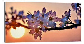 Stampa su alluminio  Cherry blossoms against evening under the setting sun - Julia Delgado