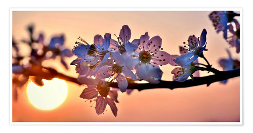 Poster Premium Cherry blossoms against evening under the setting sun