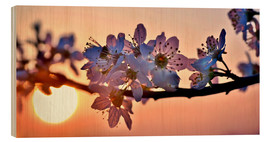 Stampa su legno  Cherry blossoms against evening under the setting sun - Julia Delgado