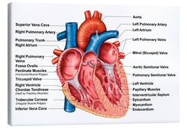 Stampa su tela  Anatomy of heart interior, frontal section