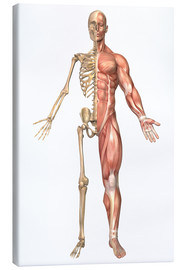 Stampa su tela  The human skeleton and muscular system, front view