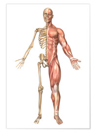 Poster  The human skeleton and muscular system, front view - Stocktrek Images