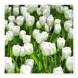 Poster Premium  Meadow of tulips - pixelliebe