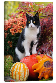 Stampa su tela  Tuxedo cat on colourful pumkins in a garden - Katho Menden
