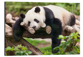 Stampa su alluminio  Giant panda sleeping - Jan Christopher Becke