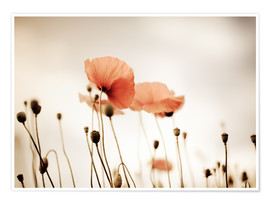 Poster Premium Red Poppy Dream