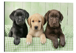 Greg Cuddiford - Three Labradors