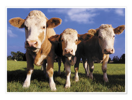 Poster Premium  Three cows - Greg Cuddiford