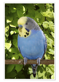 Poster  Budgie on branch - Greg Cuddiford
