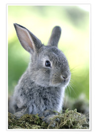 Poster Premium  Grey rabbit - Greg Cuddiford