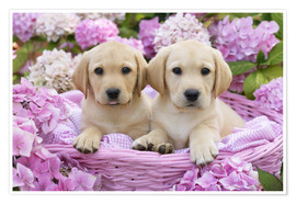 Poster Premium  Labrador puppies in a basket - Greg Cuddiford