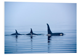 Stampa su schiuma dura  Three Killer whales with huge dorsal fins - Jürgen Ritterbach