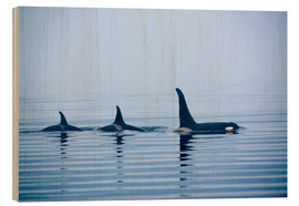 Legno  Three Killer whales with huge dorsal fins - Jürgen Ritterbach