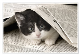 Poster  Black and white cat under newspaper - Greg Cuddiford