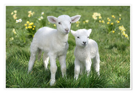 Poster  Easter lambs - Greg Cuddiford