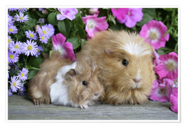 Poster  Two guinea pigs - Greg Cuddiford