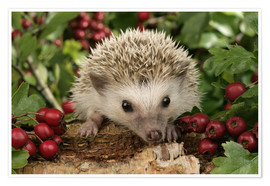 Poster Premium  Hedgehog with berries - Greg Cuddiford