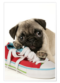 Poster Premium  Pug pup and shoe - Greg Cuddiford