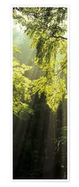 Poster Premium  Sunbeams in a forest - Markus Lange