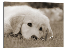 Alluminio Dibond  Golden Retriever cute puppy, monochrom - Katho Menden