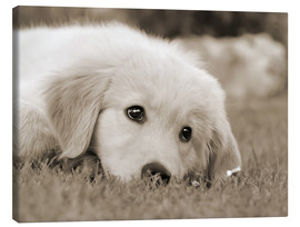 Stampa su tela  Golden Retriever cute puppy, monochrom - Katho Menden