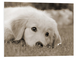 Forex  Golden Retriever cute puppy, monochrom - Katho Menden