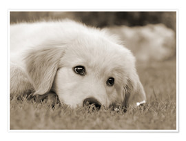 Poster Premium  Golden Retriever cute puppy, monochrom - Katho Menden