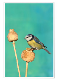 Poster Premium Blue Tit on poppy