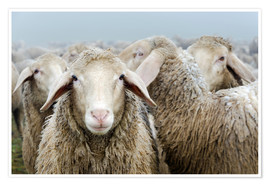 Poster Premium  Flock of sheep - Michael Valjak