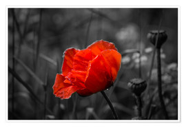Poster Premium Red poppy on black and white background