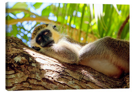 Stampa su tela  Green monkey sleeping, Barbados - Matteo Colombo