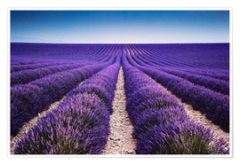 Poster Premium  Lavender field in Provence - Matteo Colombo
