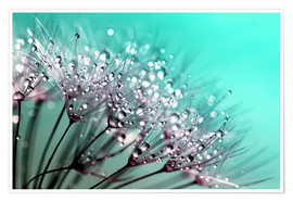 Poster Premium Dandelion Seed Blowballs With Water Droplets