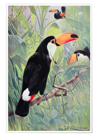 Poster  Great Toucan - Wilhelm Kuhnert
