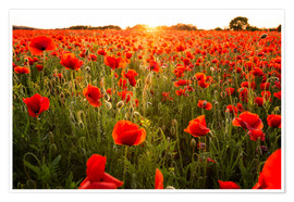 Poster Premium Poppy field with sunset