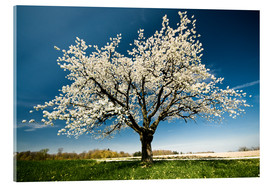 Stampa su vetro acrilico  Single blossoming tree in spring - Peter Wey
