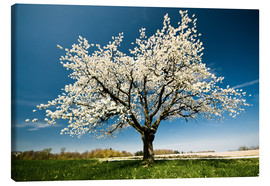 Tela  Single blossoming tree in spring - Peter Wey