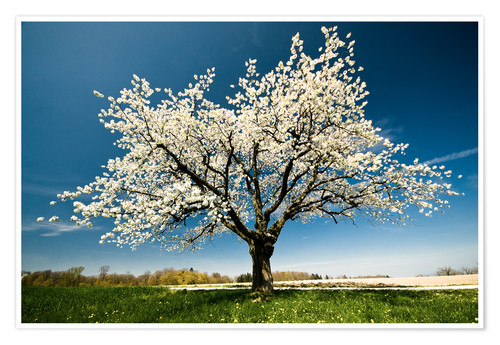 Poster Premium Single blossoming tree in spring