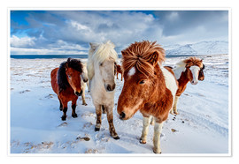Poster Premium icelandic horses in northern Iceland